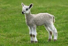 New Born Lamb Stock Image
