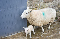 New born lamb. Ewe and new born lamb taken into farm yard for observation and for safety stock photo