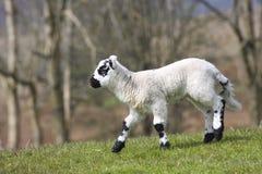 New Born Lamb. Wales UK Stock Photo