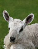 New Born Lamb Stock Images