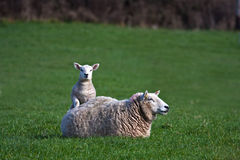 New born Lamb and ewe. New born Lambs in a field with their mothers North Wales UK Royalty Free Stock Photo