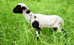 New born lamb Stock Image