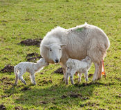 New born lamb twins with mother Royalty Free Stock Photography