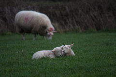 New born Lambs. In a field with their mothers North Wales UK Royalty Free Stock Photography