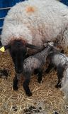 New born lambs feeding Royalty Free Stock Images