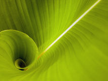 New born leaf. Leaf's textures,line and curves Royalty Free Stock Photography