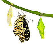 New born lime butterfly Royalty Free Stock Photos
