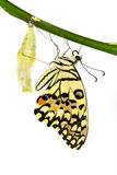 New born lime butterfly. Hanging near pupal Stock Images
