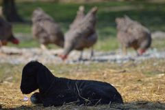 New born little lamb with hens. A little new born lamb at our little family farm with hens in the background Royalty Free Stock Photo