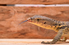 New born lizard Royalty Free Stock Photo