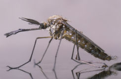 New born male mosquito. The new born male mosquito standing on the surface of the water Stock Photos