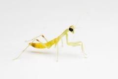 New born mantis Stock Photography
