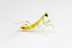 New born mantis Stock Image