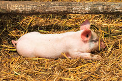 New born pig Royalty Free Stock Photo