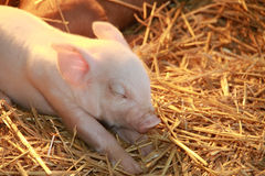 New Born Piglet Royalty Free Stock Image