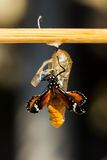 New born Plain tiger butterfly Royalty Free Stock Photo