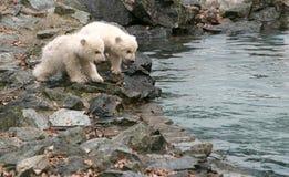 New Born Polar Bears Stock Photography
