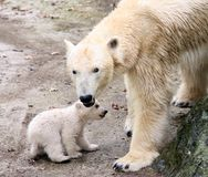 New born polar bears. Mother Cora and two small polar bear in zoo Brno, Czech republic was on Tuesday March 11, 2008 aloowed out for the first time. Cora was royalty free stock photography