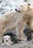 New born polar bears. Mother Cora and two small polar bear in zoo Brno, Czech republic was on Tuesday March 11, 2008 aloowed out for the first time. Cora was royalty free stock image
