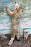 New born polar bears Stock Photography