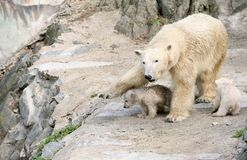 New born polar bears Stock Photo