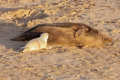 New born seal pup feeding from mother seal. New born seal pup and mother feeding young with breast milk on the sandy beach in Norfolk UK. Early morning sun rise Stock Photography