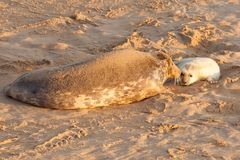 New born seal pup and mother bonding. On the sandy beach in Norfolk UK. 7am early morning sunrise Royalty Free Stock Photography