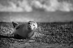 New Born Seal royalty free stock photography