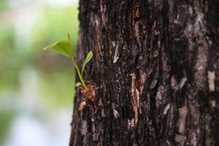 New born sprout on an old tree. Green new born sprout on old bark surface of an old tree Stock Image