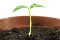 New born sprout in the pot Royalty Free Stock Photography