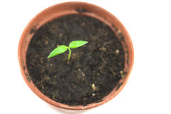 New born sprout in the pot Royalty Free Stock Photos