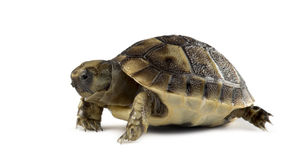 New born turtle, isolated Royalty Free Stock Photo