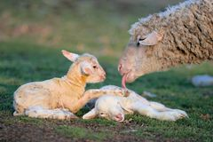 New born two little lambs. With their mother Royalty Free Stock Images