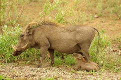 Southern african animals. New born warthogs drinking at his mom Royalty Free Stock Photos