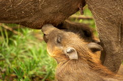 Southern african animals. New born warthogs drinking at his mom Stock Photography