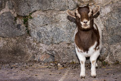 New born white and brown goat nannie Royalty Free Stock Photography