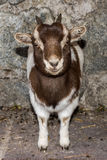 New born white and brown goat nannie. Just born baby white goatling nannie looking at you Royalty Free Stock Photos