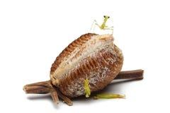 New born wood mantis and egg case. On white background Stock Images