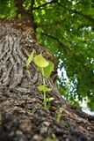 New Branches and leaves growing from the trunk of an old tree Stock Photo