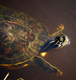 The New Brown. Amphibious, freshwater turtle swimming in muddy water Stock Photography