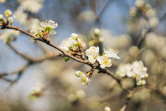 New bud of cherry tree on a blur backgrounds. Soft focus on the old vintage lens Royalty Free Stock Photo