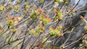 Strong wind swings the branches of the Bush with young leaves. New budding leaves on the branches swing in strong winds stock video