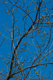New buds. Spring, the new buds of trees on branches in blue sky Stock Photography