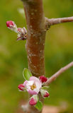 New buds on apple tree. Fresh little flowers and buds on an apple tree, closely to trunk Royalty Free Stock Photography