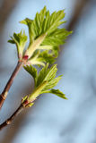 New buds on branch of tree Stock Photo