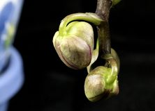 New Buds Forming on an Orchid Plant. Closeup of new buds forming on an Orchid plant with a black background stock photography