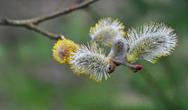 New Buds on a Tree Royalty Free Stock Image