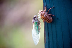 New Cicada Bug Beginning Landscape stock image