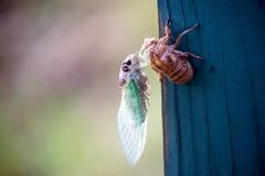 New Cicada Bug Beginning Landscape Stock Image