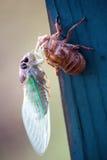 New Cicada Bug Beginning Stock Photo
